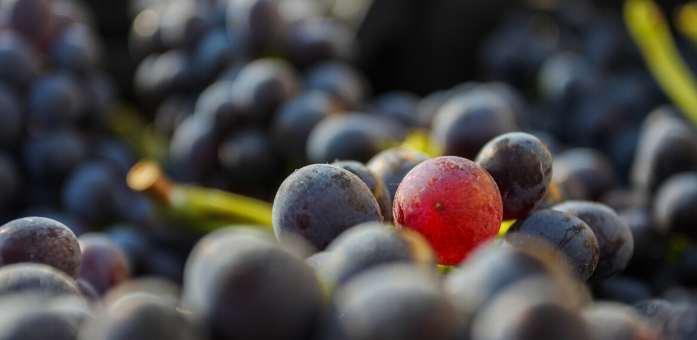 amarone druer